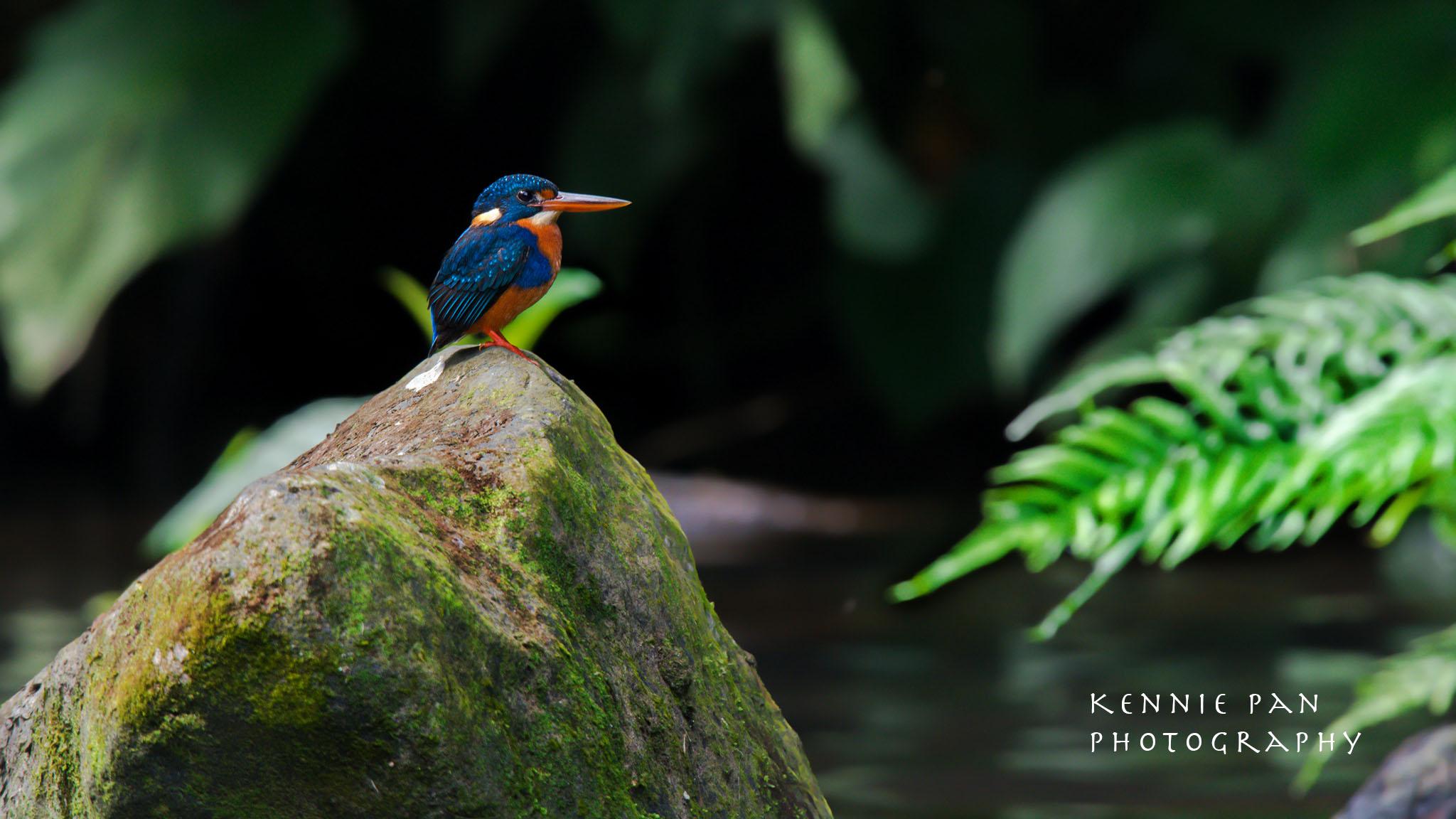 IndigoBandedKingfisher