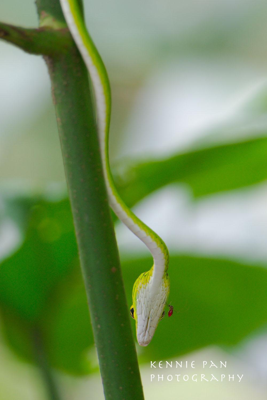 Oriental Whip Snake